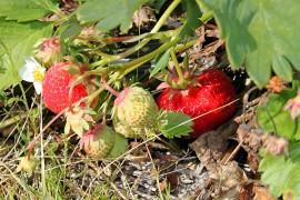 Kylmä ja pilvinen sää on hidastuttanut mansikoiden kypsymistä. Toisaalta mansikoilla on ollut aikaa kasvattaa kokoa.