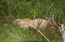 Tämä peura kuoli tiistain kolarissa. Kuva: Simo Päivärinta