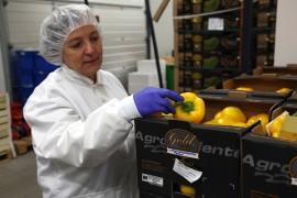 Kotikäyttöön kelpaamaton kasvis ei kelpaa elintarviketeollisuudellekaan. Vitarion toimitusjohtaja Liisa Uusipaikka esittelee tuotantoon meneviä komeita paprikoita. Kuva: Özkan Inhanli