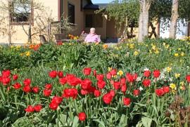 Timo Muurisen omia suosikkeja ovat  punaiset tulppaanit, mutta muita värejäkin penkeissä on narsissien seurana.