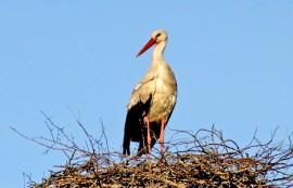 Koskelle pesiytyneet kattohaikarat ovat todennäköisesti hautomapuuhissa. Poikasia saadaan vielä odottaa. Kuva: Nelly Rauhala