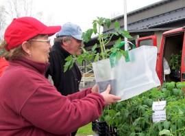 Taina Alikoivistolle ja Jarmo Lehdelle on jo perinne ostaa tomaatin taimi Maatalousnaisten puutarhatorilta. Kuva: Kiti Salonen