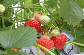 Juhannuksen mansikat saadaan tänä vuonna kasvihuoneesta. Avomaalla raakileita on huomattavasti enemmän.