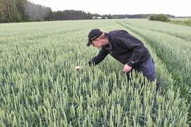 Petri Matintalo tarkastelee Magnifik-syysvehnää. Syysviljat ovat pärjänneet kesän sadesäissä selvästi paremmin kuin useimmat kevätkylvöiset viljat.