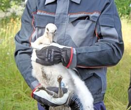 Kattohaikaran poikaset suhtautuivat melko rauhallisesti tiistaina suoritettuun rengastukseen.