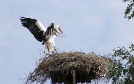 Kosken kattohaikaranpoikasista on jäljellä enää kuvassa lentoretkeltä palaava Kontti. Pesässä piilotteleva Kinttu menehtyi sunnuntaina lentoharjoituksissa.