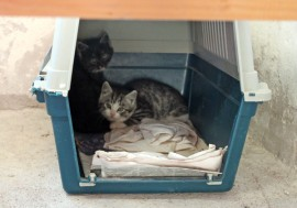 Pöytyältä loukutetut kissanpojat ovat päässeet talven tuloa karkuun sijaiskotiin. Kuva N.N.