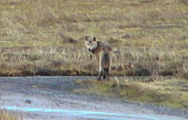 Susi pysähtyi tienhaarassa hetkeksi luomaan katseen kohti kameraa. Noin 240 metrin päästä otetusta kuvasta tuli epätarkka, mutta susi erottuu silti. Kuva: Jukka Heinonen