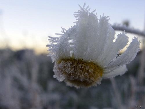 Herkät hiutaleet koristavat jäätyneen kukan. Kirsi Vuorion pakkaskuva.