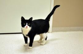 Lempeäluonteinen Amelia-kissa kaipaa uutta kotia. Amelia on noin kolmevuotias narttukissa.