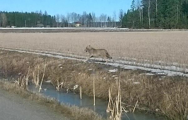 Arkistokuvassa susi vuonna 2016. Kuva Antti Pitkäniemi.