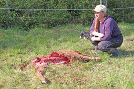 Henna Uotila löysi elottoman vasikan metsänreunasta.