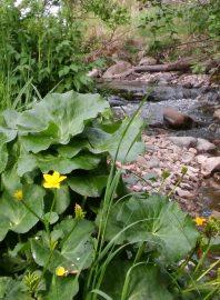 Aurassa riittää kuvauksellisia kohteita. Rentukat kukkivat parhaillaan Auran Harakkamäen laidalla olevan puron reunalla. Kuva: Päivi Perkiö