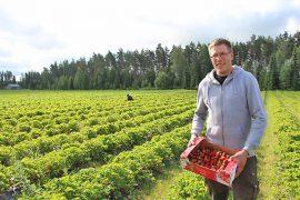 Antti Keskitalo näyttää, että vielä riittää poimittavaa, vaikka mansikan pääsatokausi onkin jo takana.