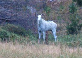 Valkoinen hirvi vieraili nuolukivellä Pöytyän Kirkonkylässä lauantaiaamuna.