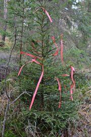 Viime vuonna Mhy Auranmaan kätkemä kuusi näytti tältä. Myös tänä vuonna kätketyn kuusen tunnistaa punaisista nauhoista. Kuva: AVL:n arkisto