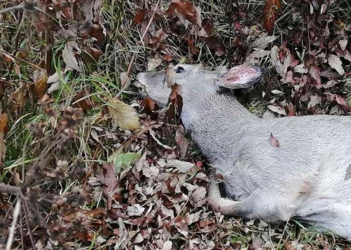 Tämä valkohäntäpeura koki karun kohtalon Marttilassa Kymppitiellä 6. lokakuuta sattuneessa kolarissa. Kuva: Simo Päivärinta